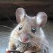 МышьСерая